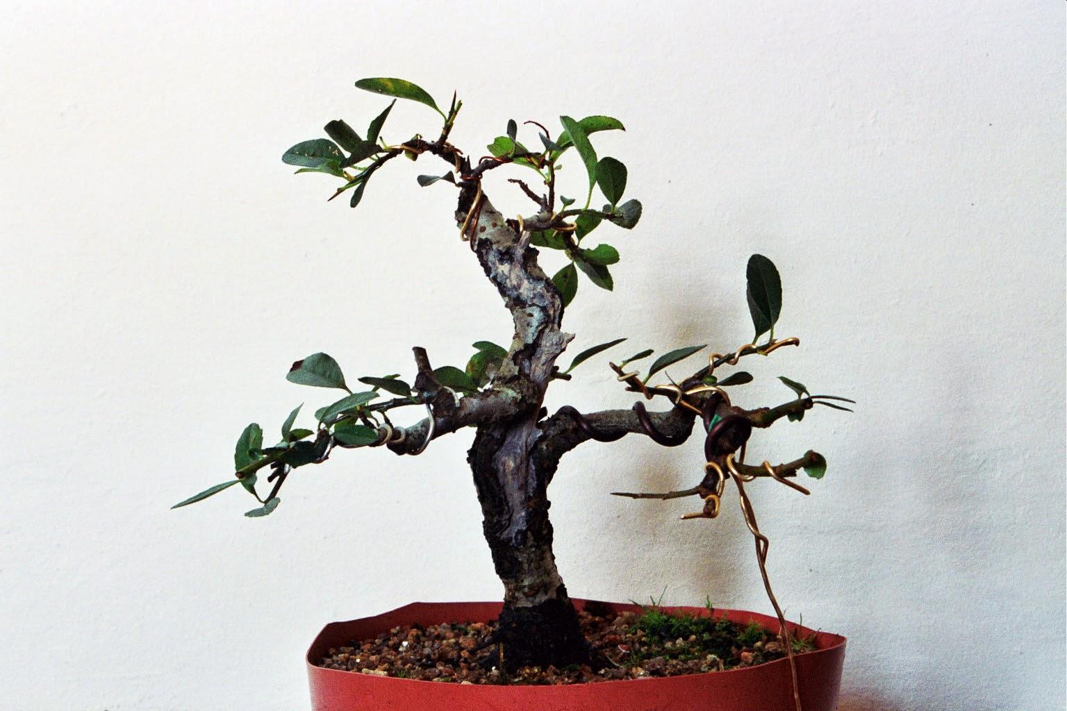 Chin Bonsai Pyracantha 39Soleil D39Or39 1 Parte