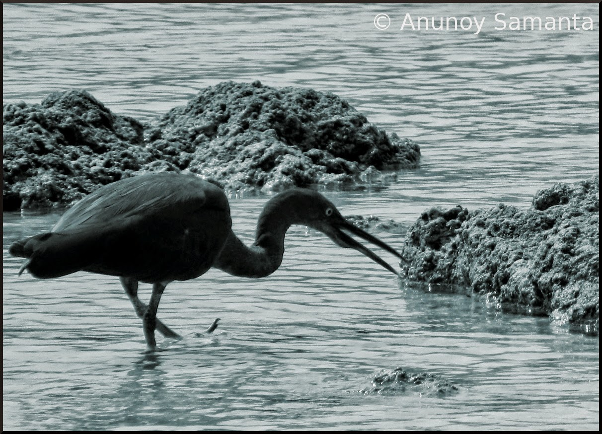A Pacific reef Heron of Neil Island