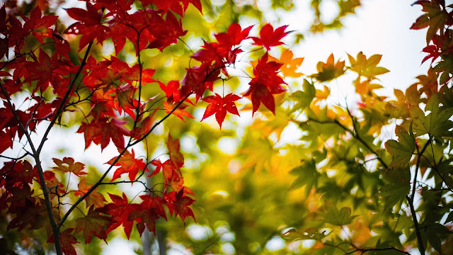 Autumn maple leaves yellow red branches blur HD Wallpaper