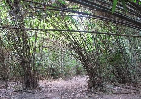 Hutan bambu Jajang di Taman Nasional Alas Purwo, Banyuwangi.