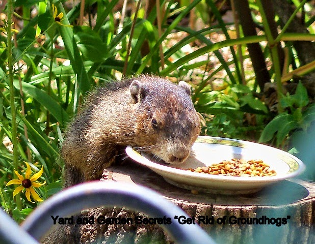 Do Groundhogs Eat Cat Food