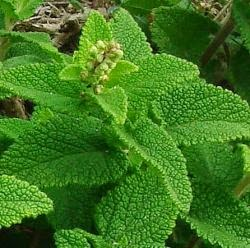 Benefits Of Wood Sage (Teucrium Scorodonia) For Health