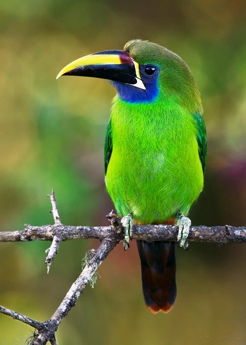 Emerald Toucanet Bird Breeds Pictures I...