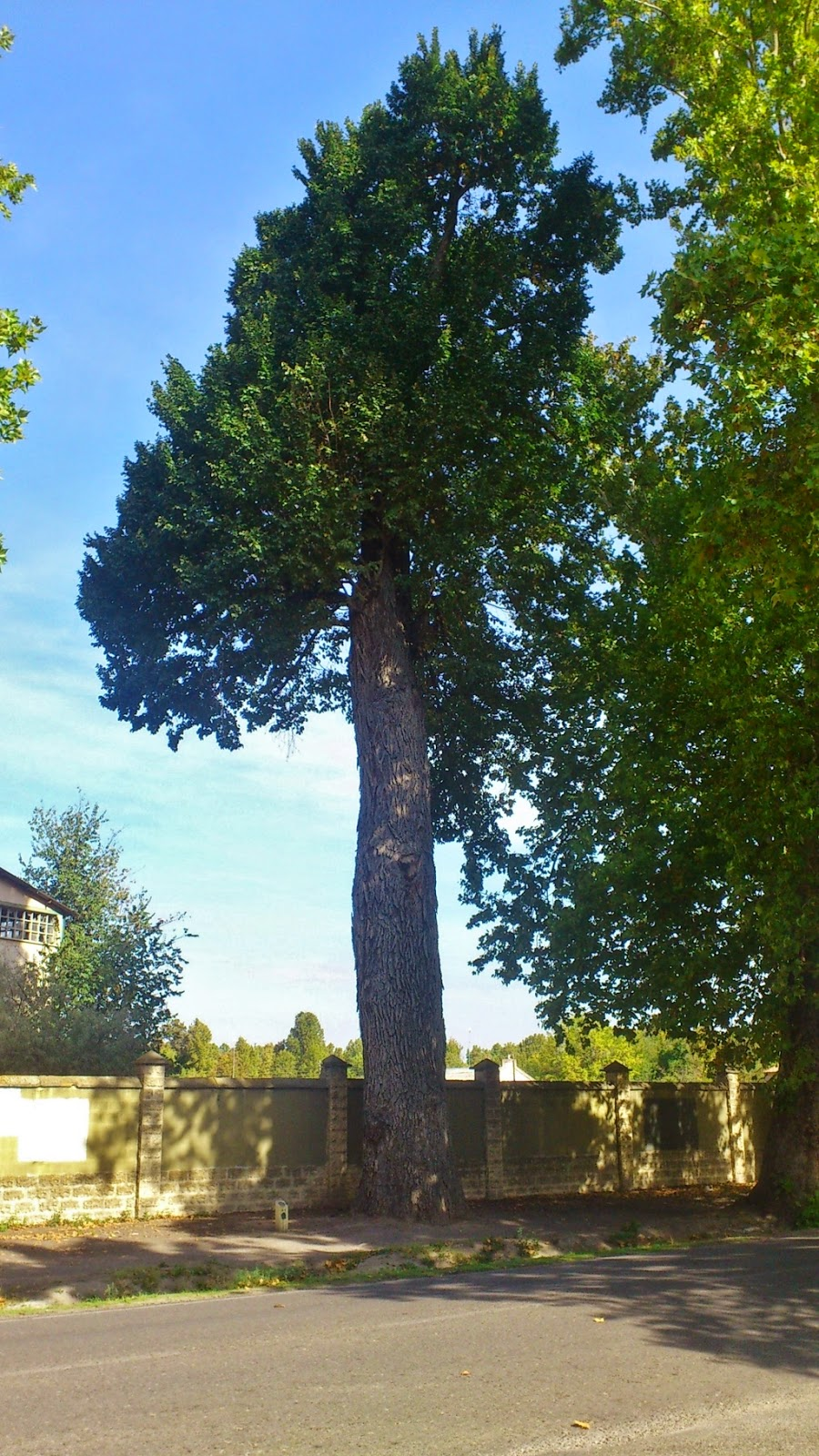 Árbol-Singular-Aranjuez-Madrid