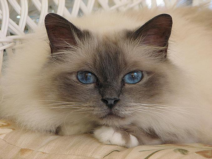 birman cats wallpaper
