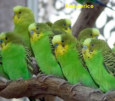 Q Significa Parrot Don Perico: Pericos Au...