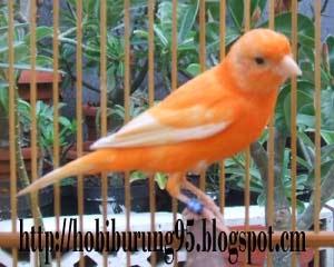 Burung Kenari | Membedakan dan Memelihara Kenari Merah Asli