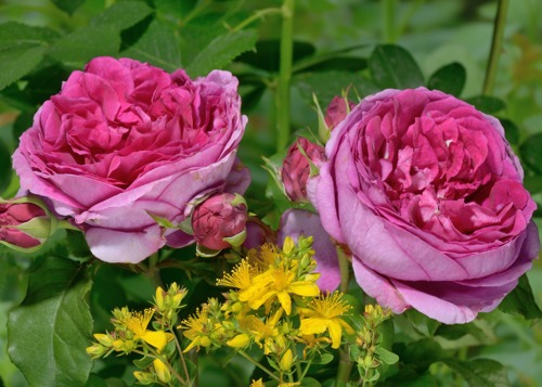 Young Lycidas rose сорт розы фото