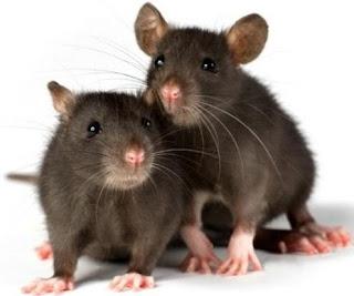 Ratas grises