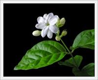 Mengenal Ciri Ciri Bunga Melati