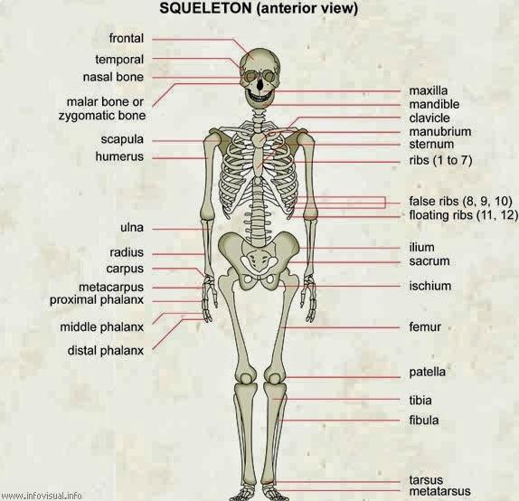 tubuh manusia terdapat 360 tulang sendi tulang