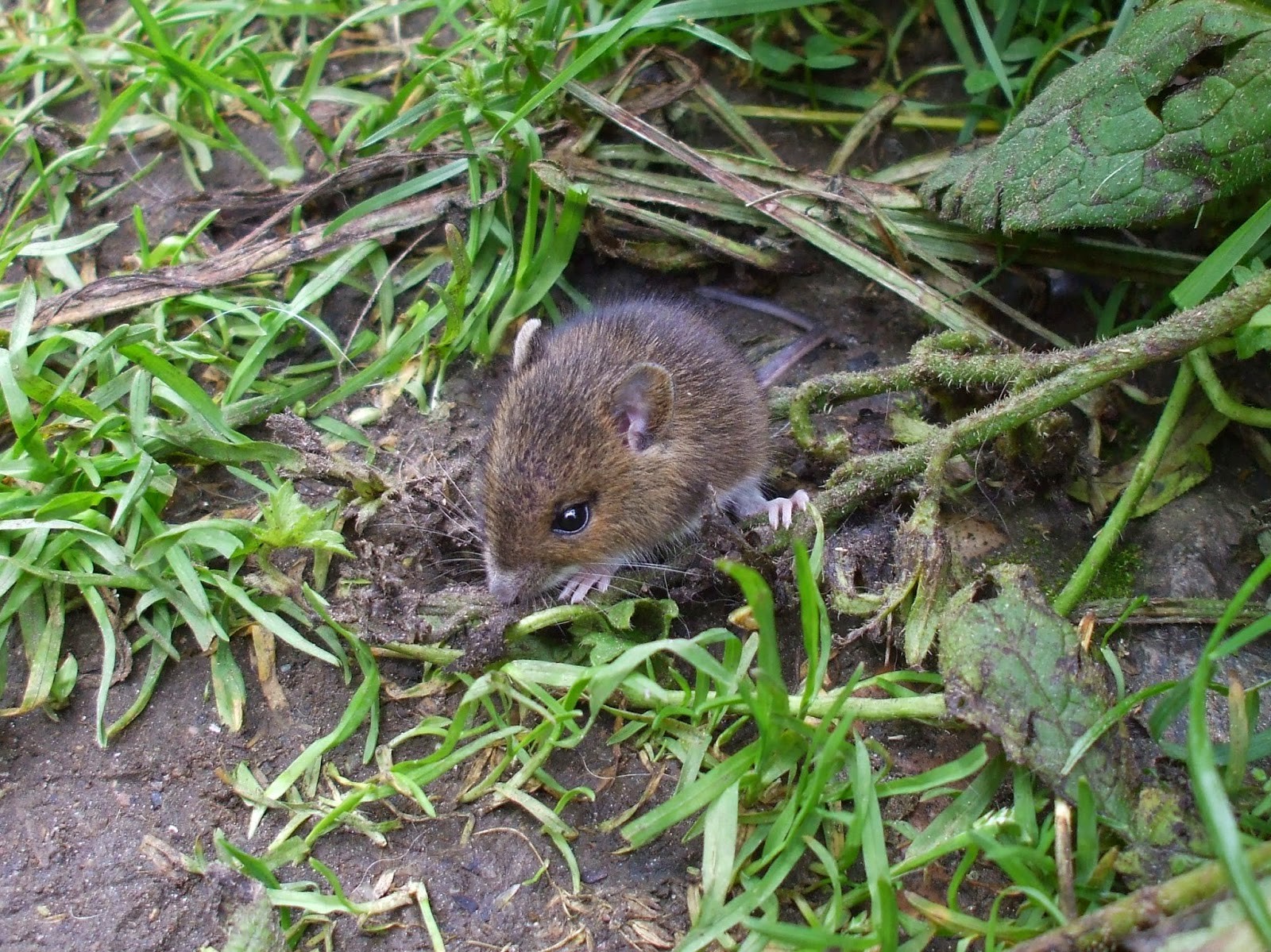 Fieldmouse by Sea Penguin 7/14