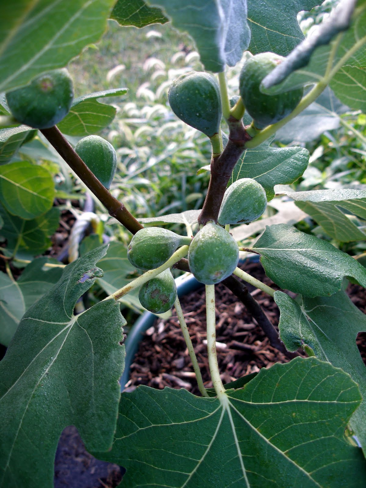 Living the Frugal Life: Fig Tree Update