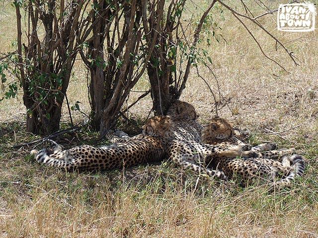 Safari game drive at Maasai Mara National Reserve in Kenya