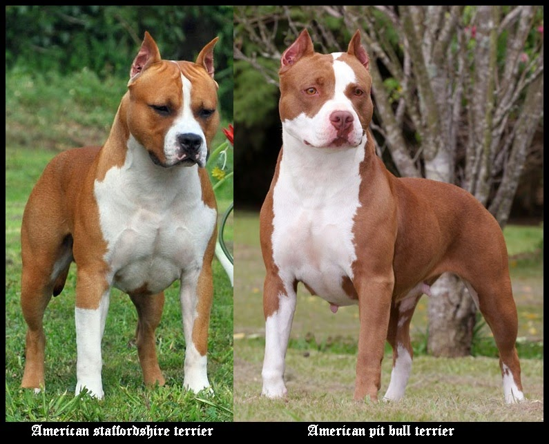 American staffordshire terrier VS American pit bull terrier