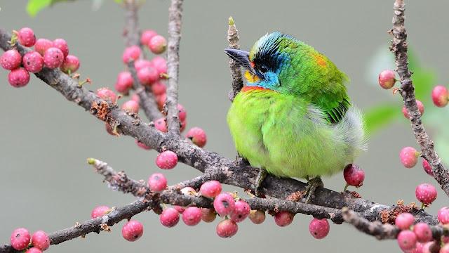 Asian woodpecker green feather bird branch berries HD Wallpaper