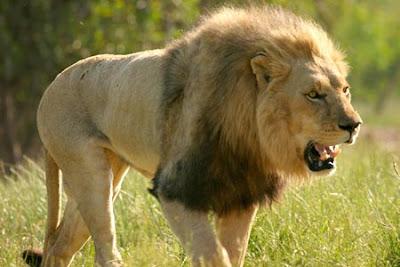 Singa (Panthera Leo)