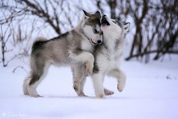Huskys!