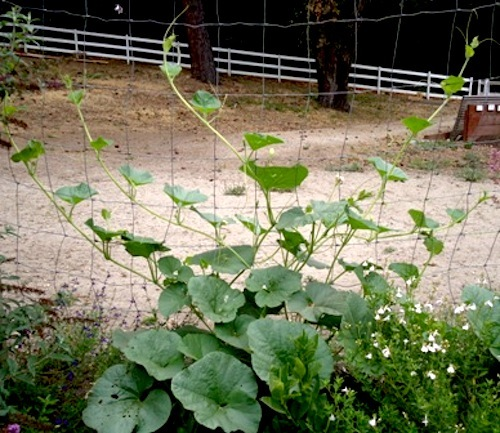 how to grow winter melon in australia