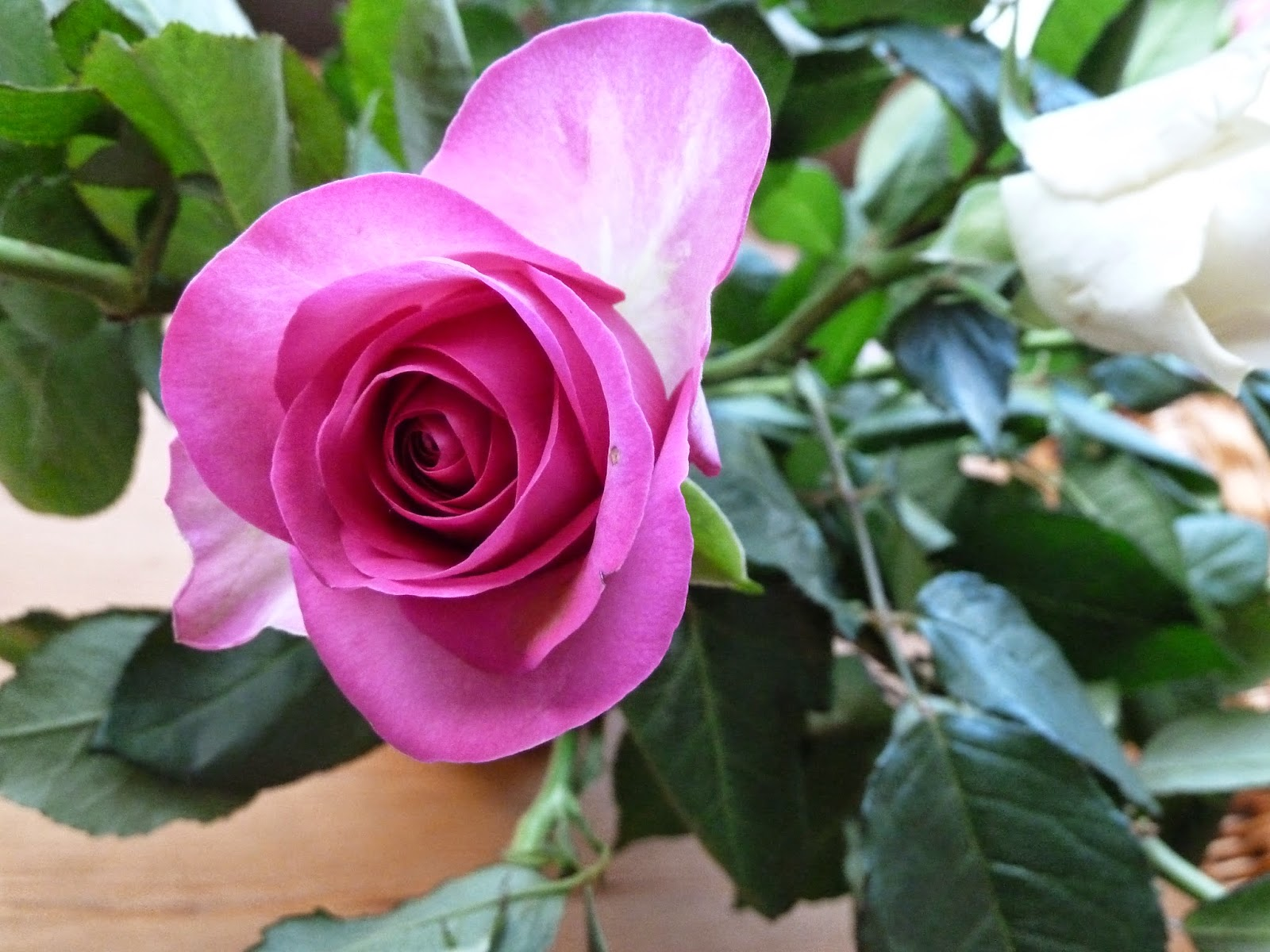 Pink rose with open outer petals