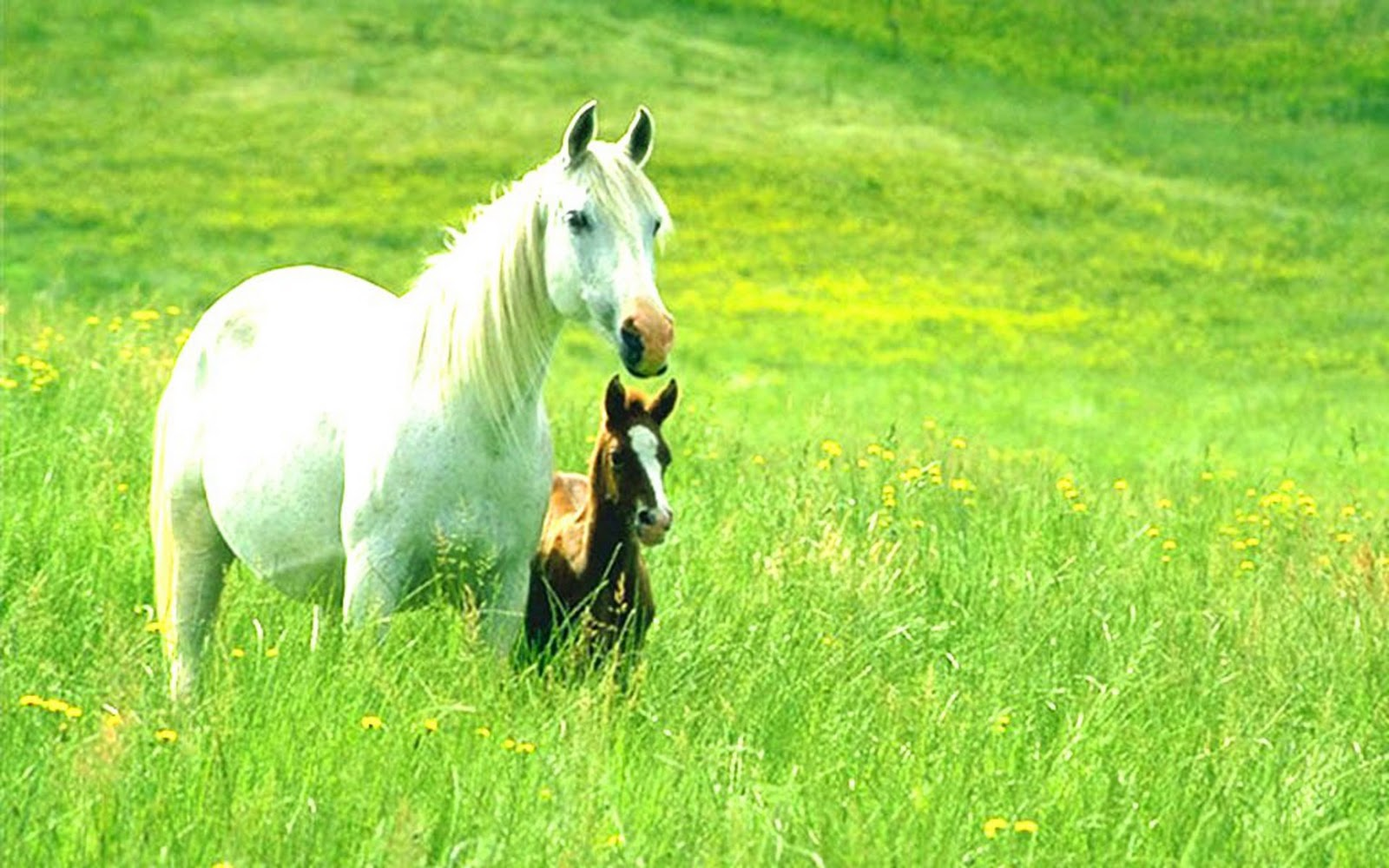 Beauty Full Horse Wallpapers And Animal Wallpapers