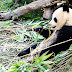 Dame bambú y llámame panda