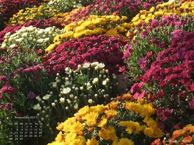Plate-bandes de chrysanthèmes, avenue Foch - Fond d'écran de novembre 2011, avec et sans calendrier