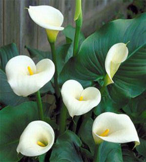 flowers for flower lovers calla lily flowers