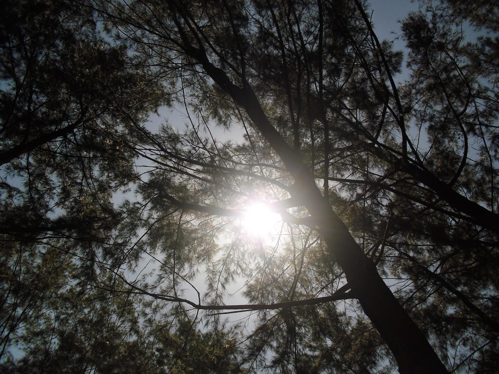 Pine trees at Anawangin