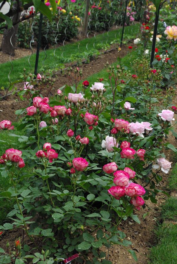 nastiya le jardin des roses saint yrieix rendez vous dans les jardins. Black Bedroom Furniture Sets. Home Design Ideas
