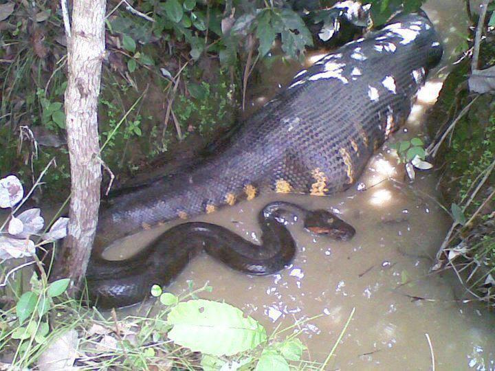 New: Anaconda Snake