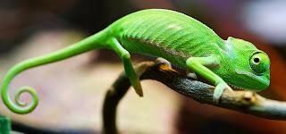 Gambar Bunglon Lucu di Pohon DP Wallpaper Hewan Chameleon Terbaru