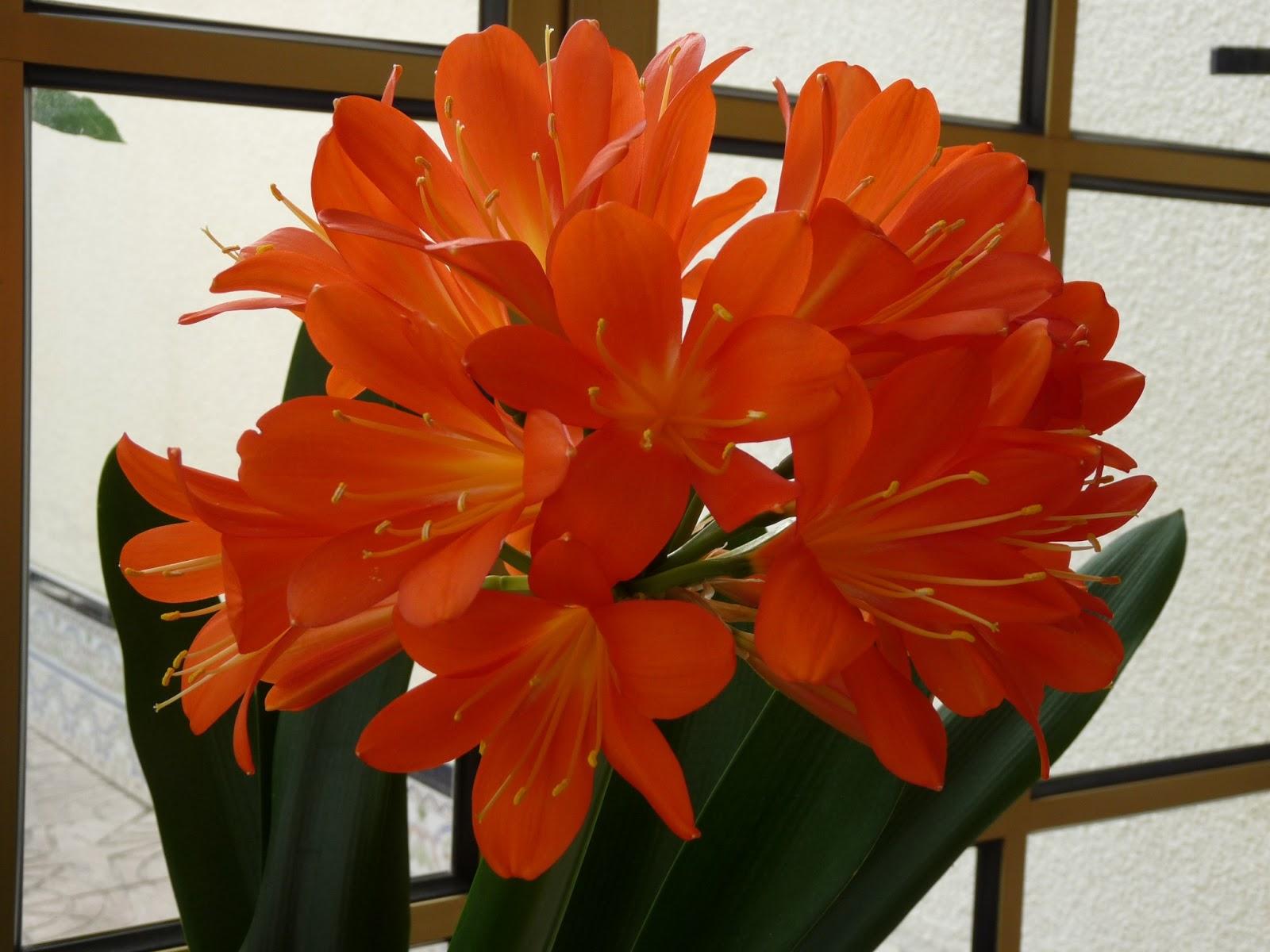 Mis plantas clivia - Plantas de sol directo ...