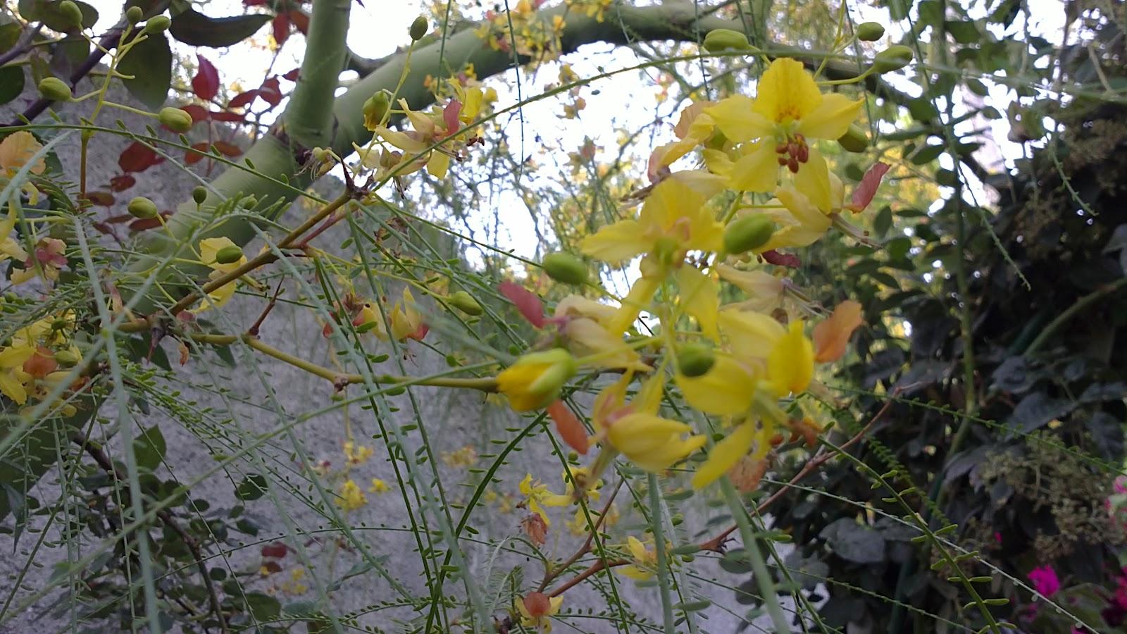 In A Costa Tropical Garden Parkinsonia Aculeata