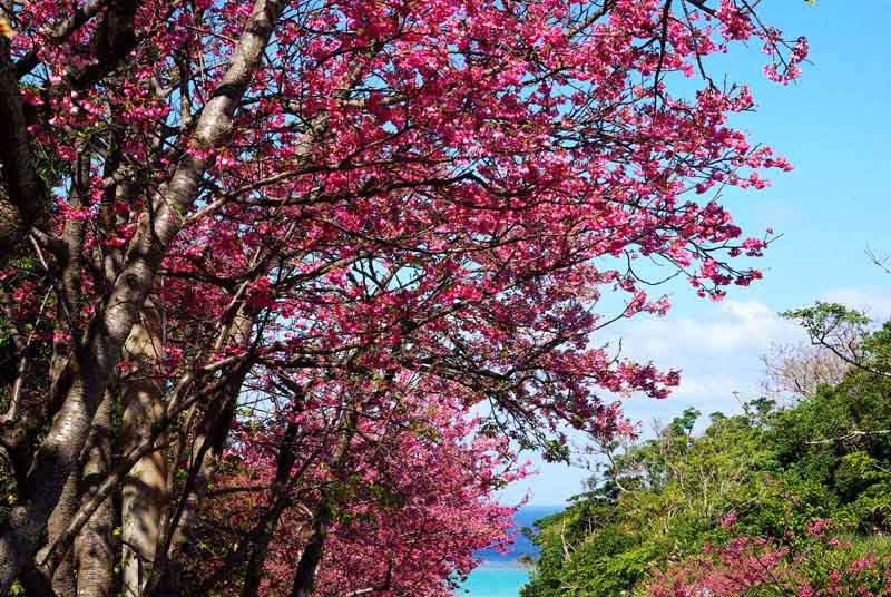 Sakura, Cherry Blossoms, flowers, trees
