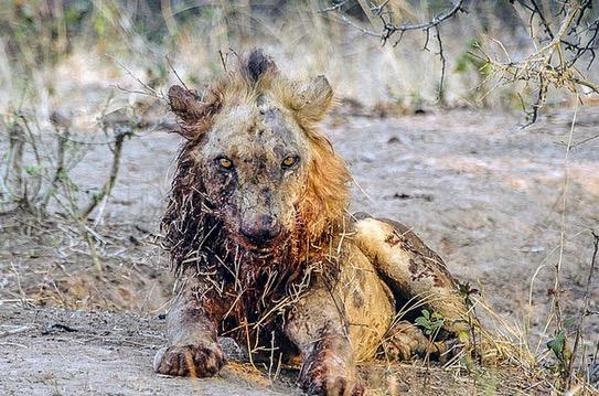 Aksi Singa Bertarung Dengan Kerbau Sampai Mati