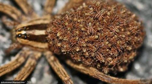 Video Dibunuh Labah labah Ini Keluarkan Ratusan Anak Labah labah