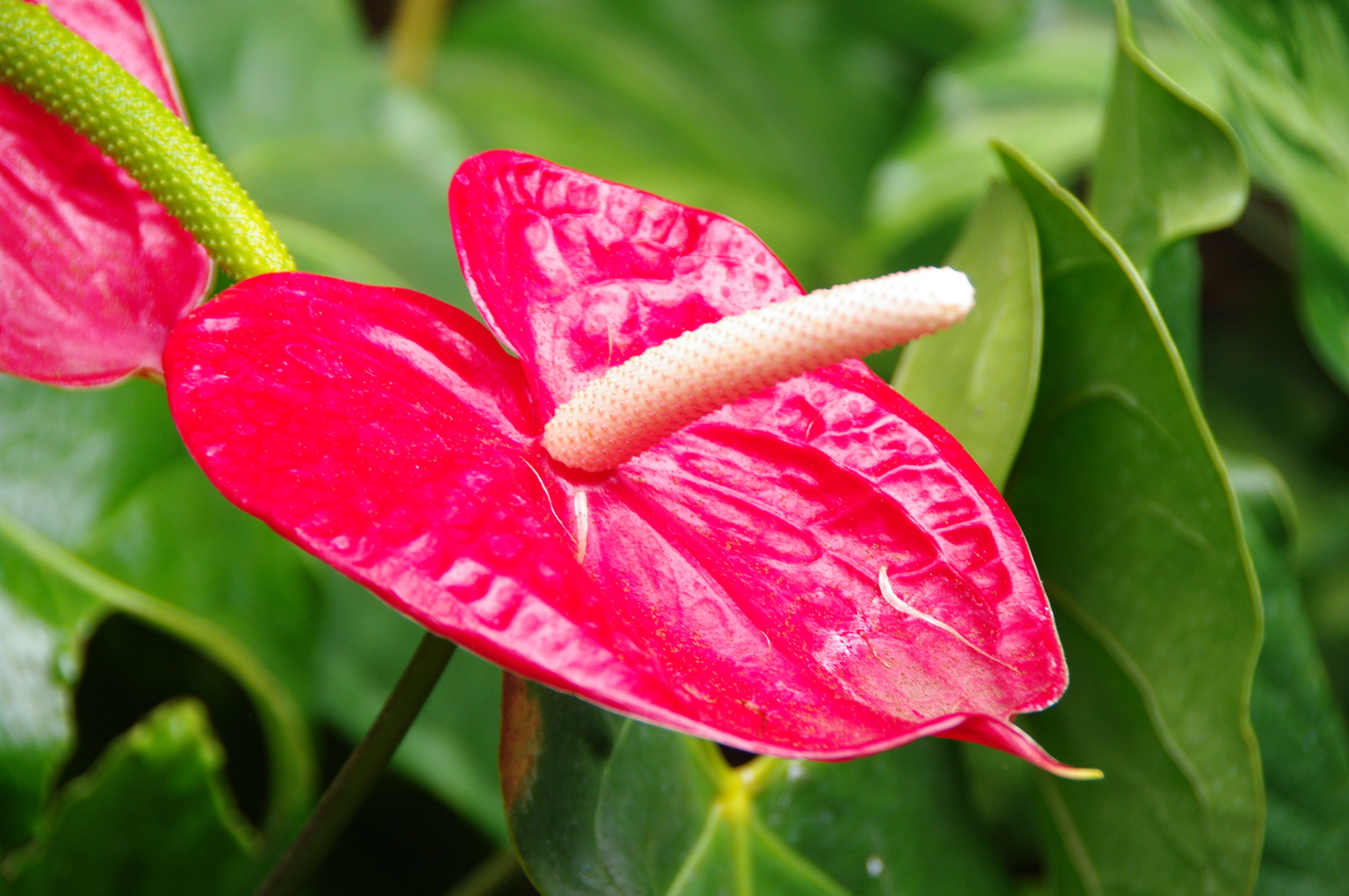 Anthurium | How to care your plants. Tips , tricks and ...