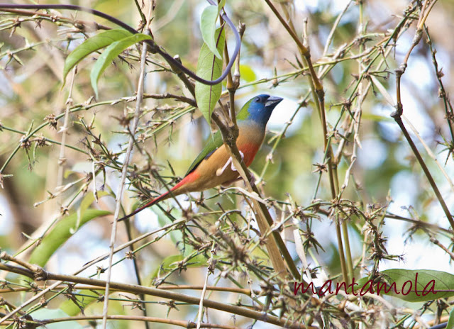 Kaeng Krachan, Pintail Parrotfinch