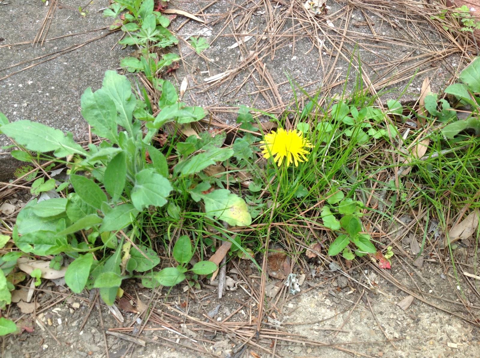 Weed Growing In My Backyard : Chickadee Garden Dandelion Cookies  Part 2 of Eat Your Weeds