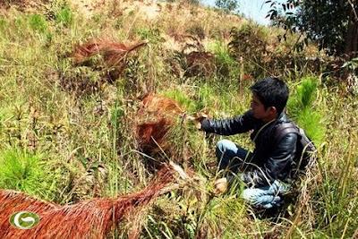 Thương lái Trung Quốc tàn sát cây quý Việt Nam