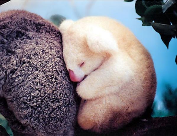 Albino Baby Koala