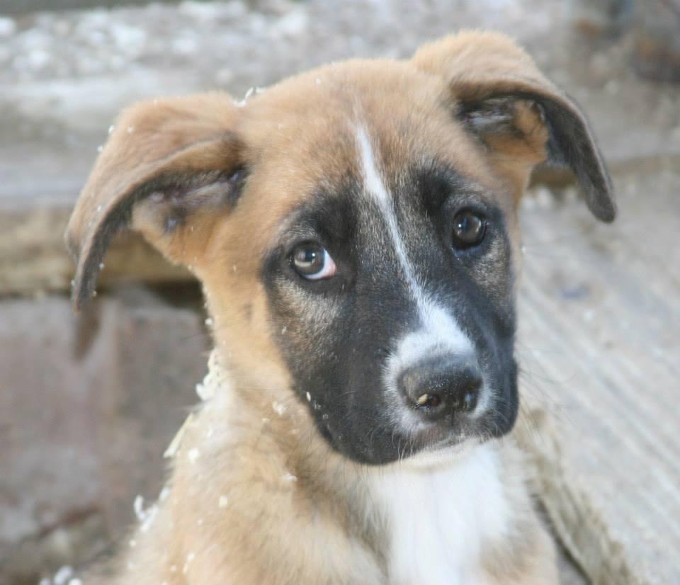 Boxer pitbull mix puppies jorge and boxer mix pups