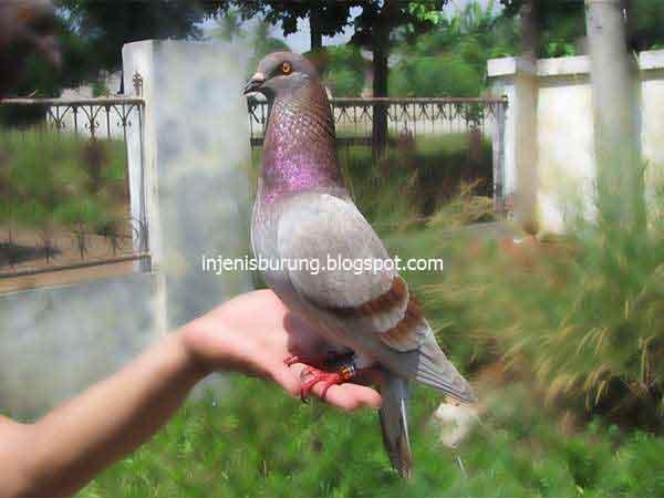 Warna Megan - karakter burung merpati