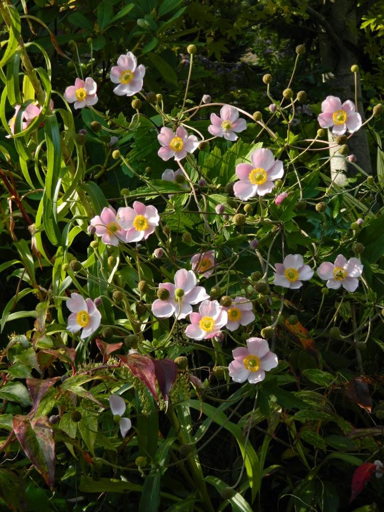 Toronto Botanical Garden Anemone tomentosa 'Robustissima' grapeleaf anemone by garden muses-not another Toronto gardening blog