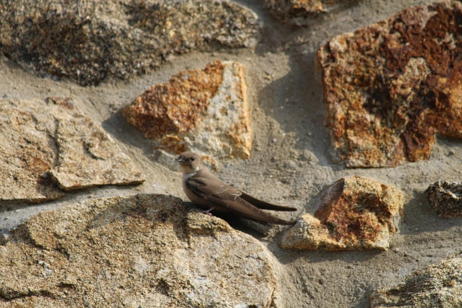hirondelle des rochers