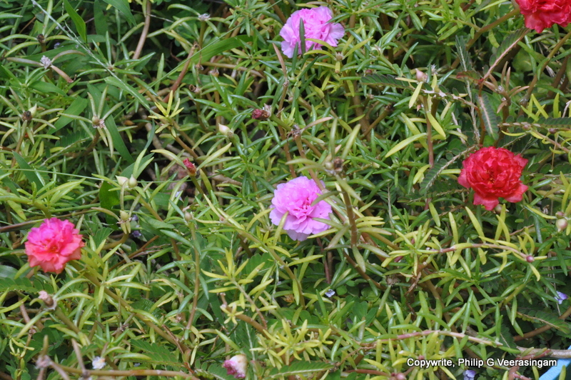 Flowers, Home Garden, Gampaha, Sri Lanka.