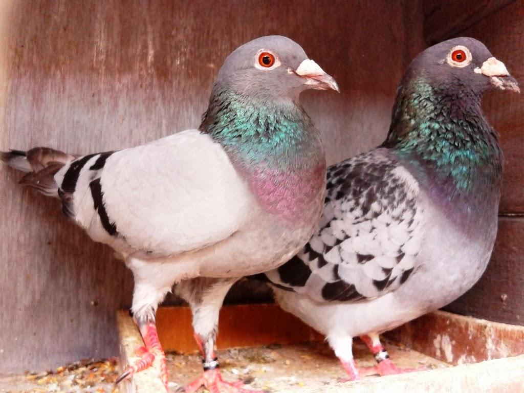 Jual Merpati Pos Racing Pigeon Solusi Mendapatkan Merpati Pos Murah Berkualitas