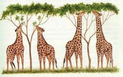 Evolución de la jirafa