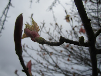 Fat buds on branches against a sky backdrop, and a few pinkish yellow leaves unfurling.